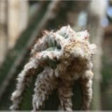 pelziger Kaktus