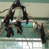 indische Riesenflughunde