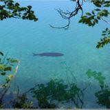 Fisch, Plitvicer Nationalpark