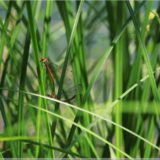 Libellen, Plitvicer Nationalpark
