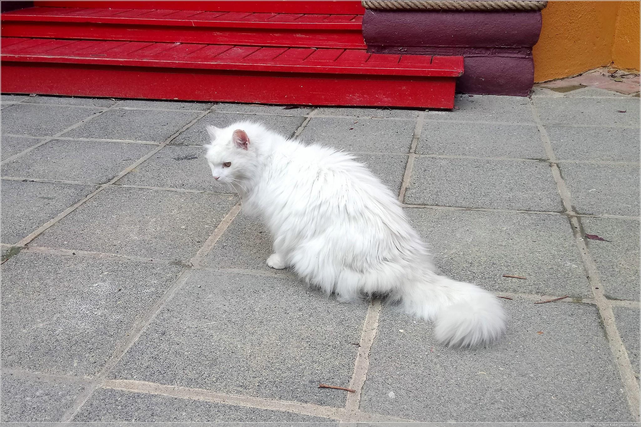 Olis taube Katze