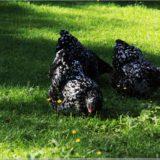 Hühner im Freilichtmuseum Ballenberg