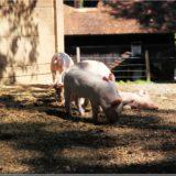 Schweine, Freilichtmuseum Ballenberg