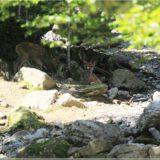 Rothirsch, Wildpark Brienz