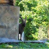 Alpsteinbock, Wildpark Brienz
