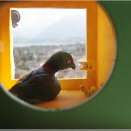 Taube im Schlossturm