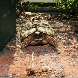 Tropenhaus Wolhusen, eine von fünf Schildkröten